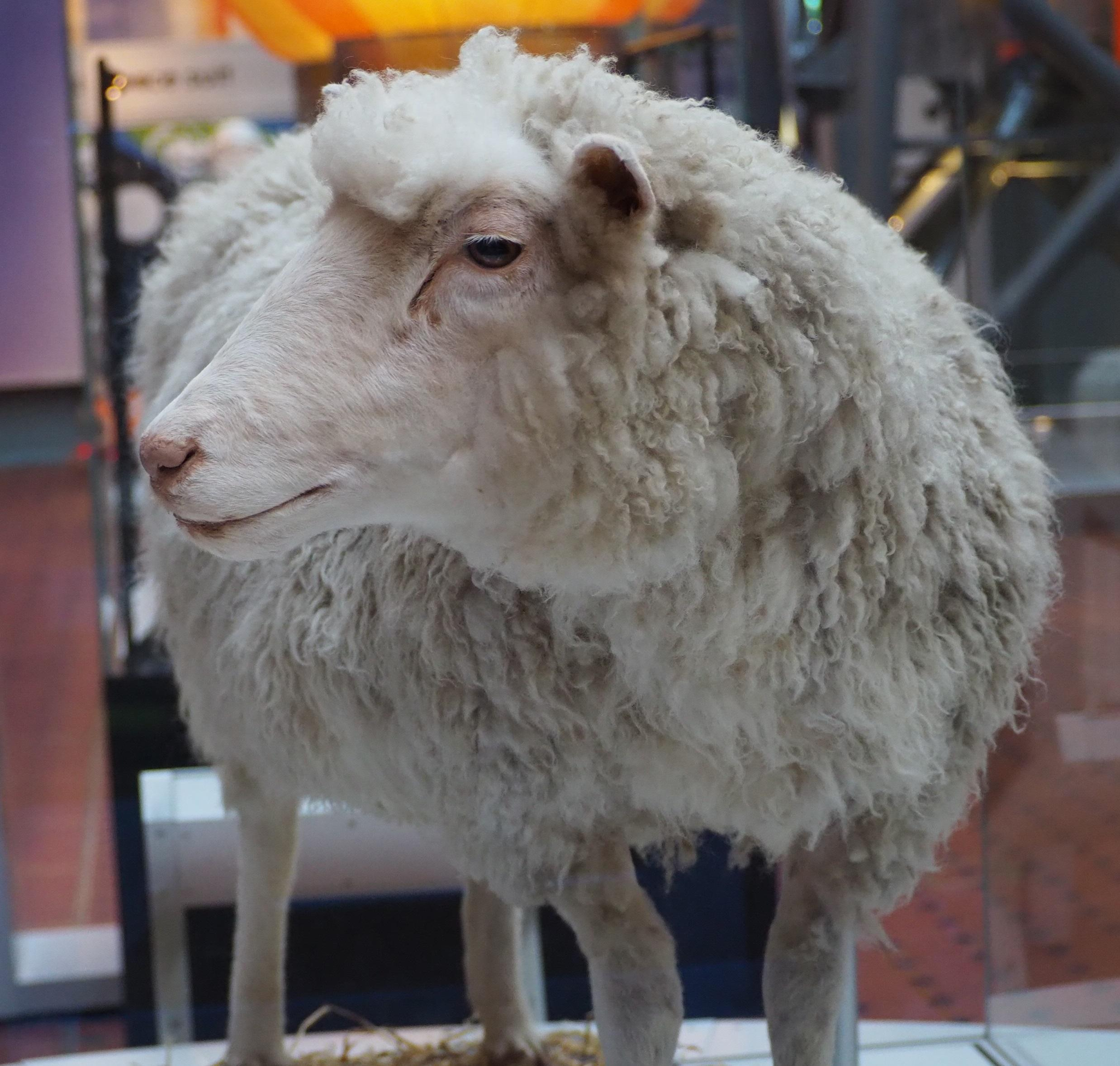 A taxidermied sheep.